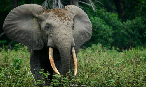 An elephant with brown dirt on the top of its head